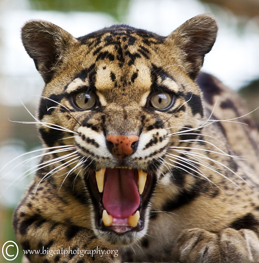 This is a male Clouded Leopard. One of the rarest and most