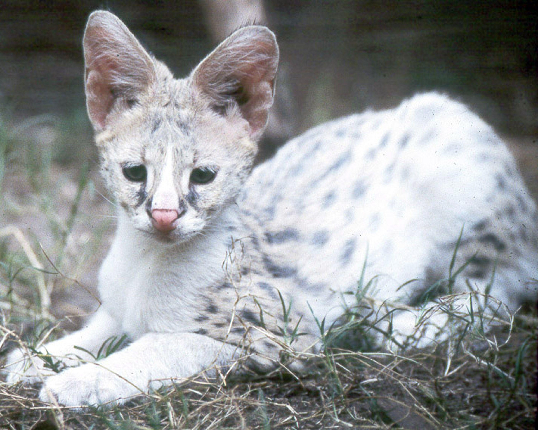 White+Serval white serval kitten Amimales Pinterest
