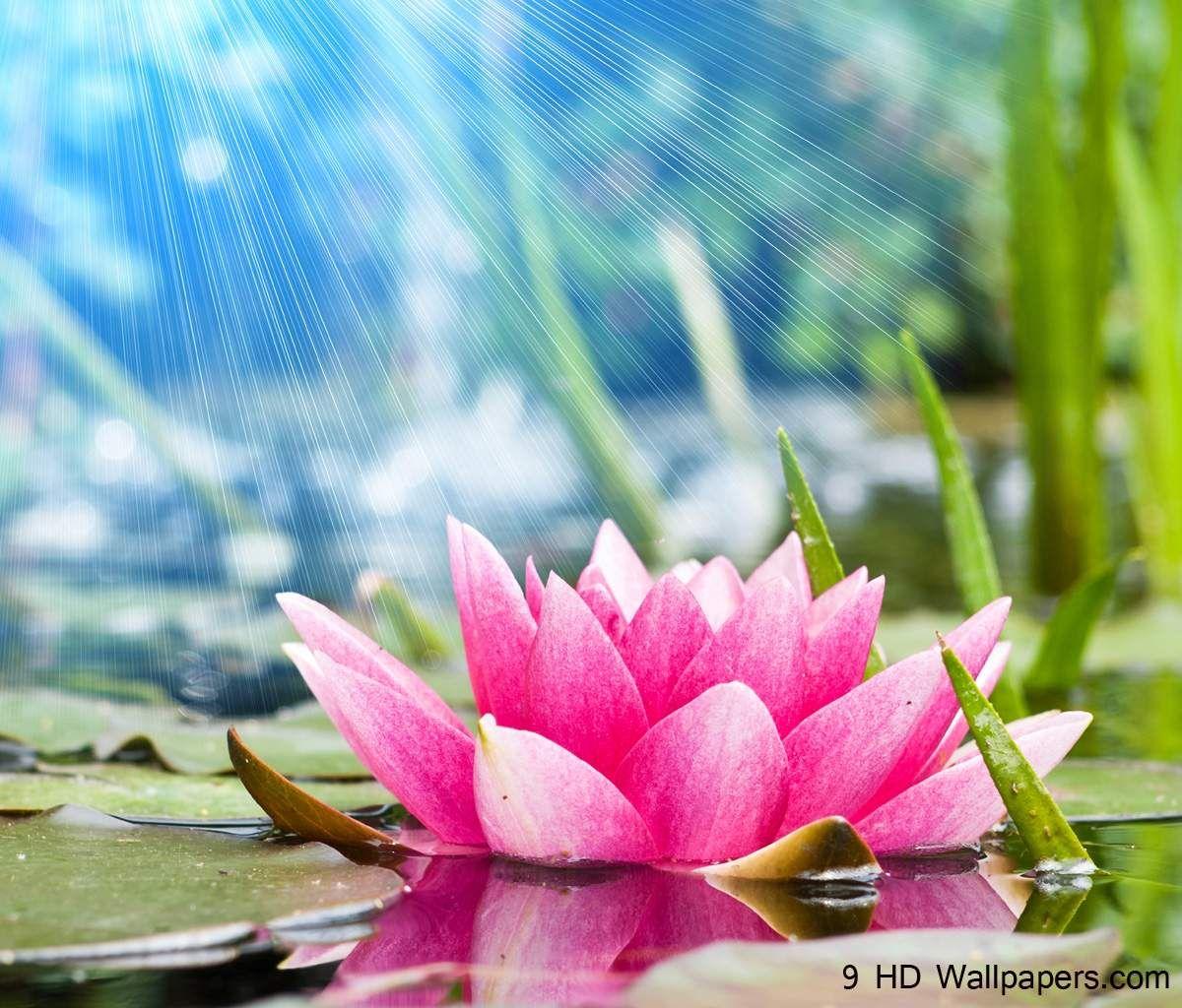 Lotus Flower Plant Water Wallpaper cute Pinterest