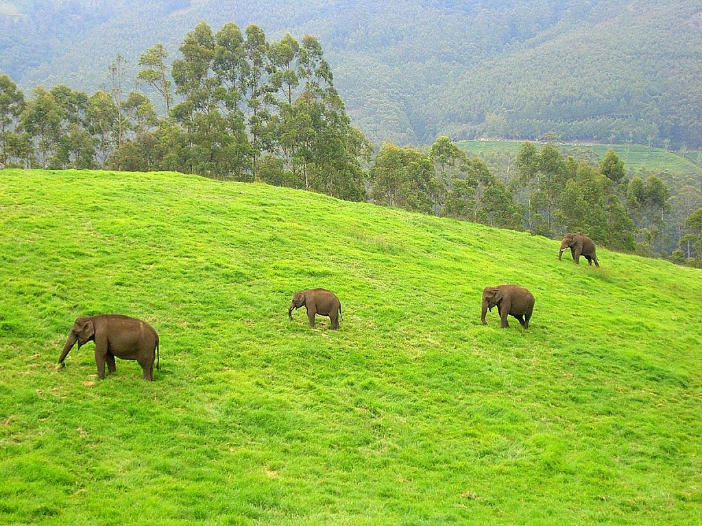 Wild elephants in Munnar, Kerala, India Places I have