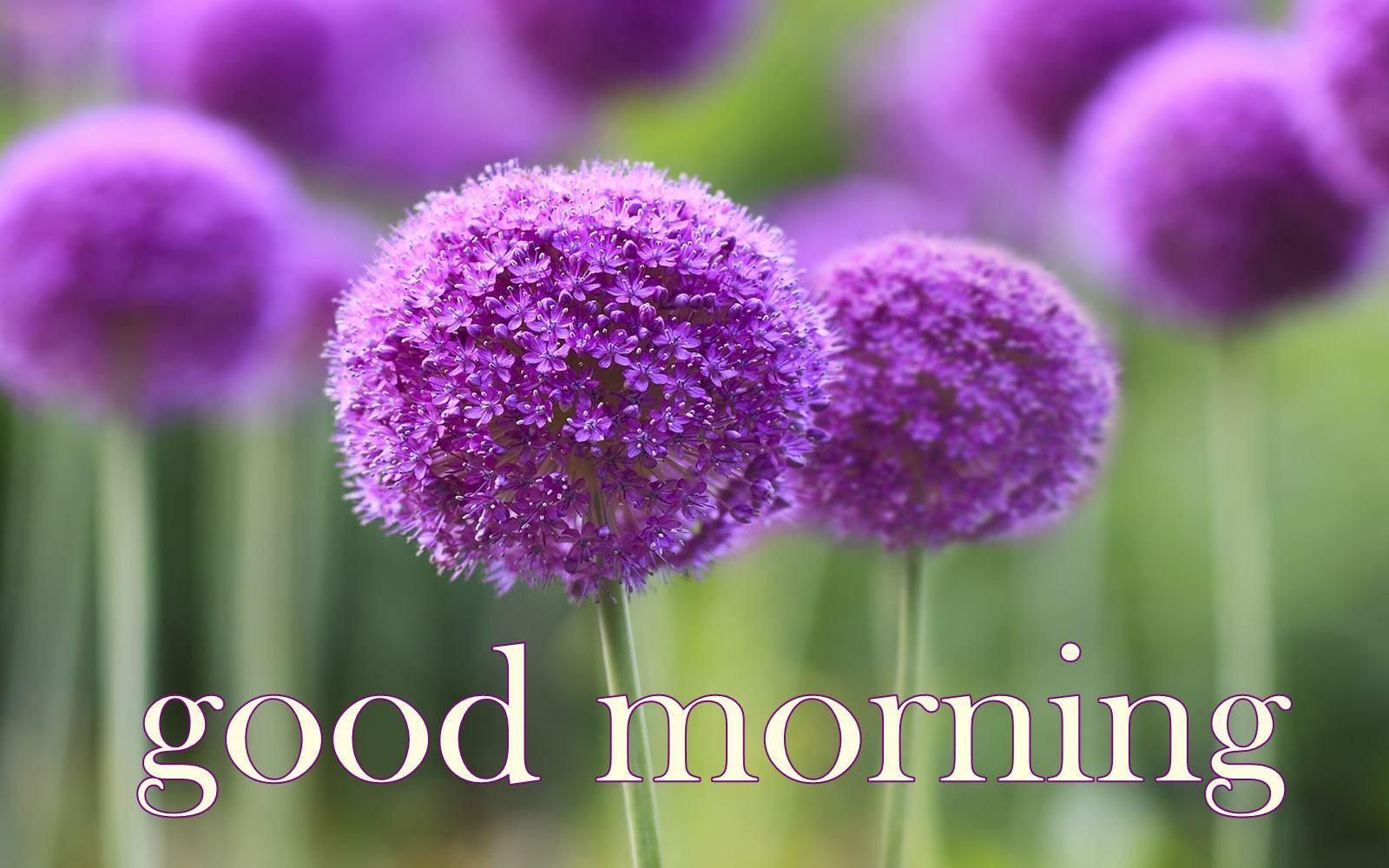 Good Morning Purple Flowers HD Wallpaper 01021 good