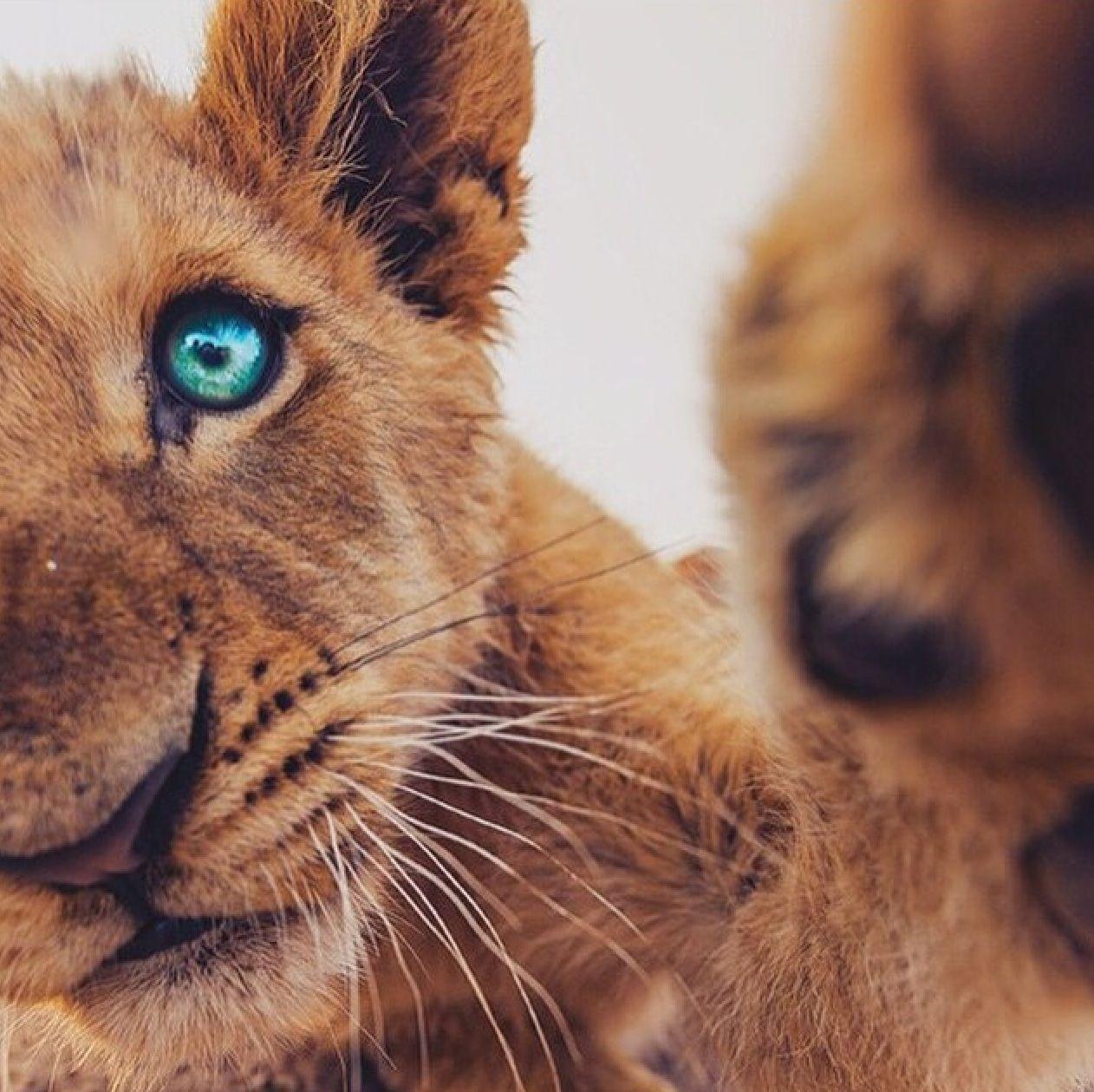 Lion cub blue eyes Africa Big cats Pinterest Lion