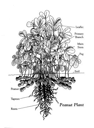 Gee Washington Carver  Diagram of Peanut Plant  these