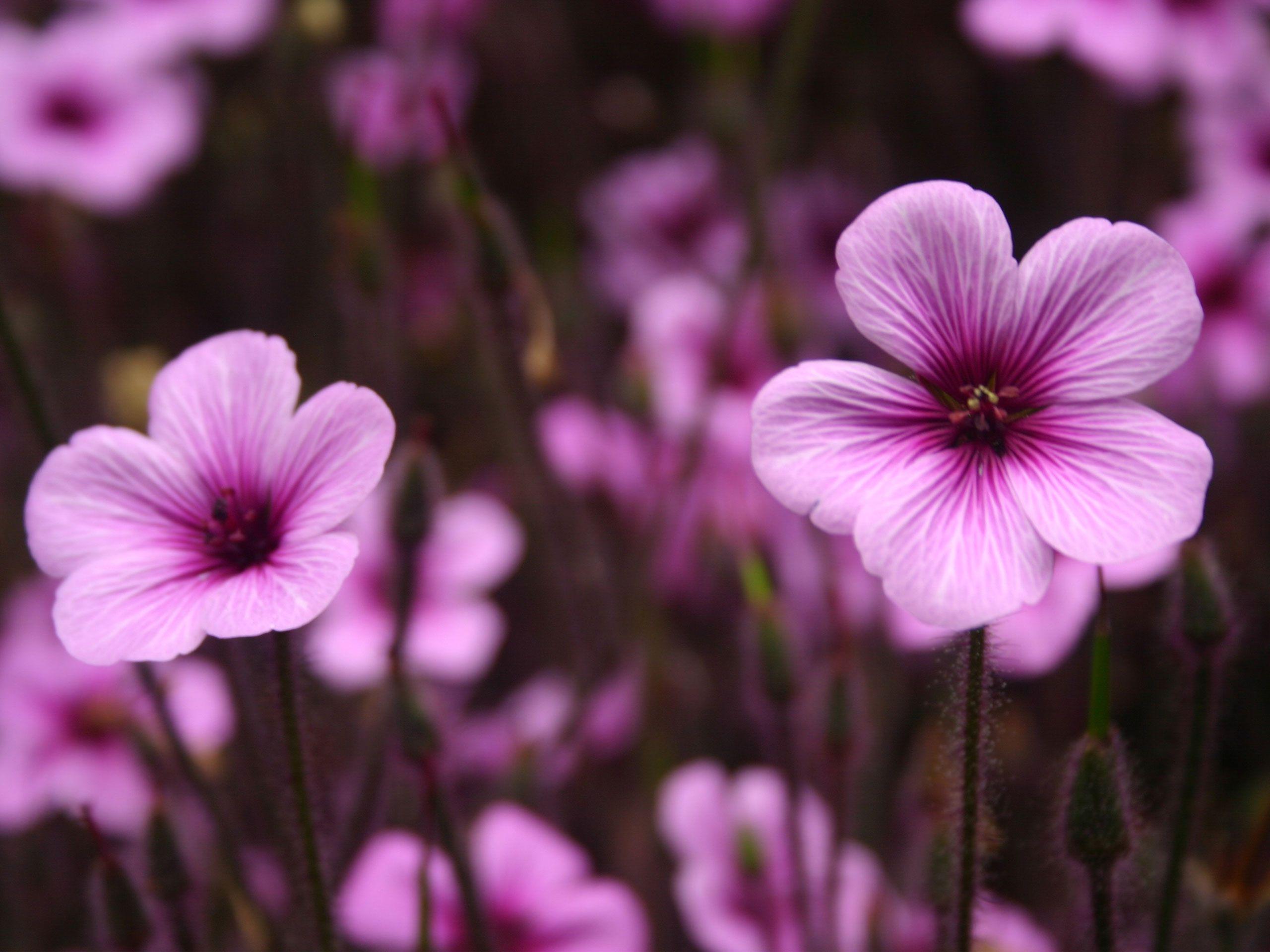 HD Flower Wallpaper Free Purple Flowers Wallpaper In