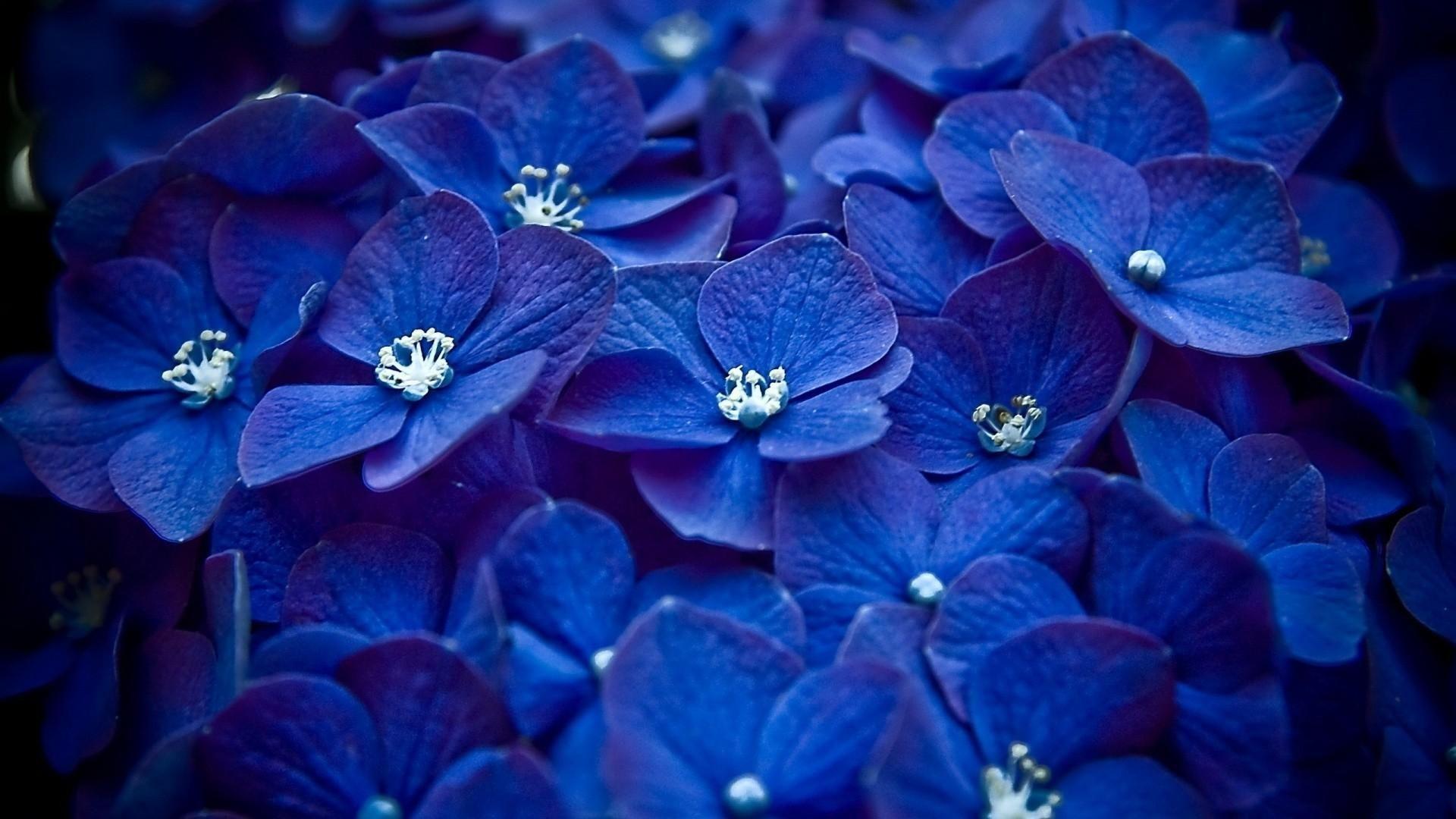 Blue hydrangea Flowers Hydrangea HD Wallpapers. Download