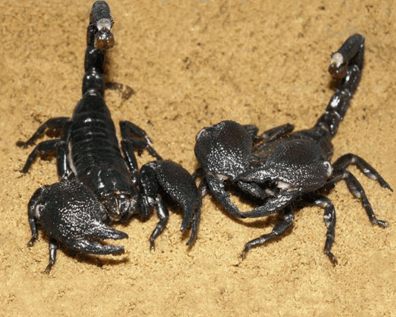 Download free Pair of Biggest Black Scorpion desktop