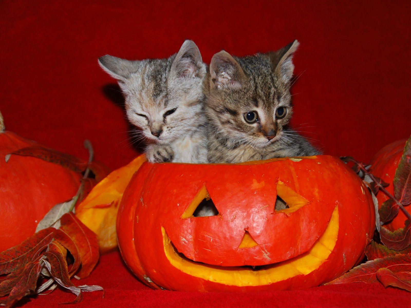 Fun Halloween Kitties cats Pinterest Halloween