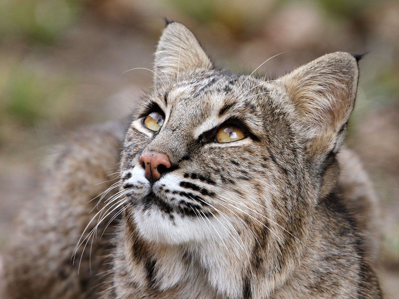 Bobcat Of the 36 species of wild cats 22 are small cats