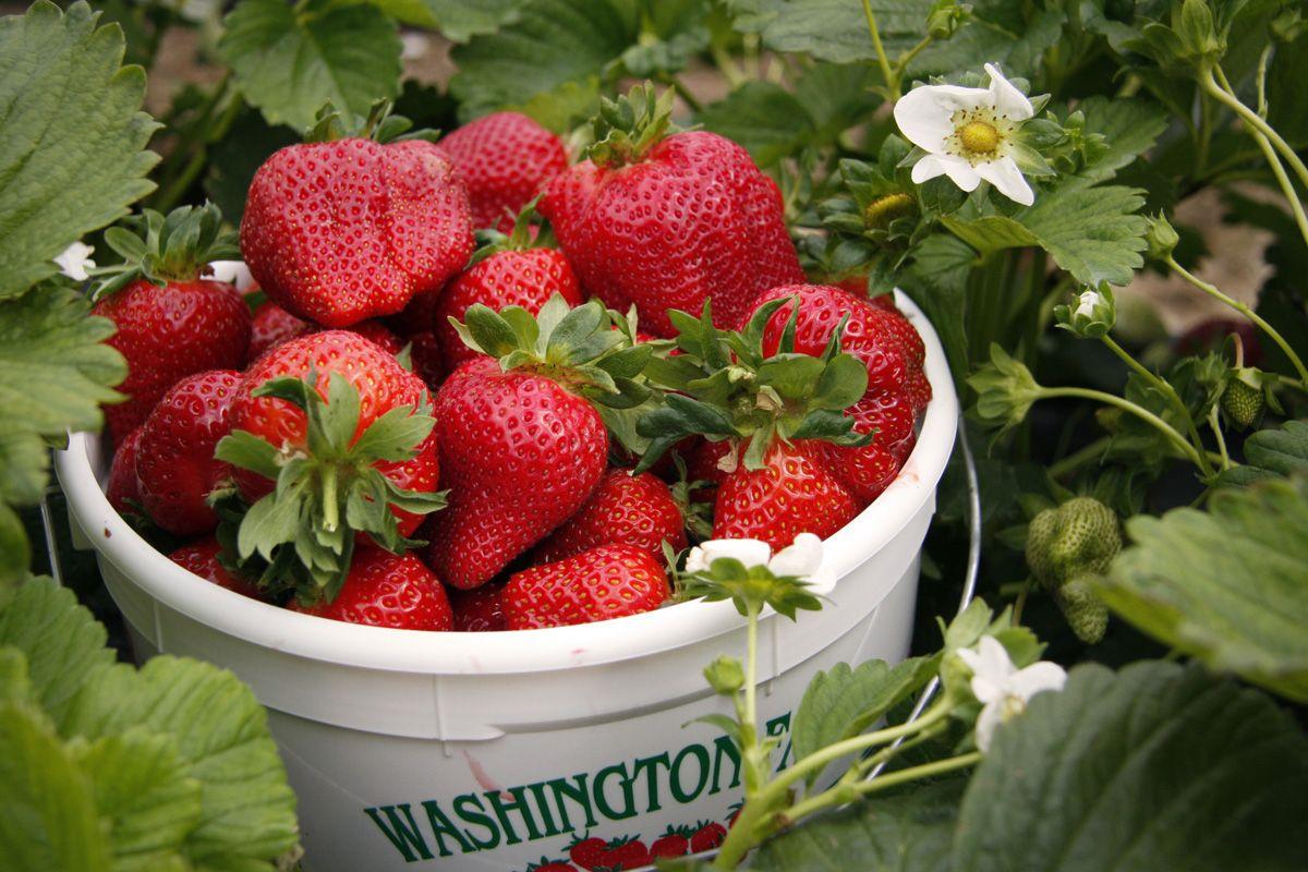 strawberries farm Washington Farms Strawberry Picking