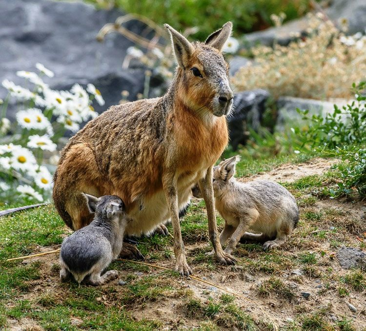 The Patagonian Cavy lives in Argentina & Patagonia. It