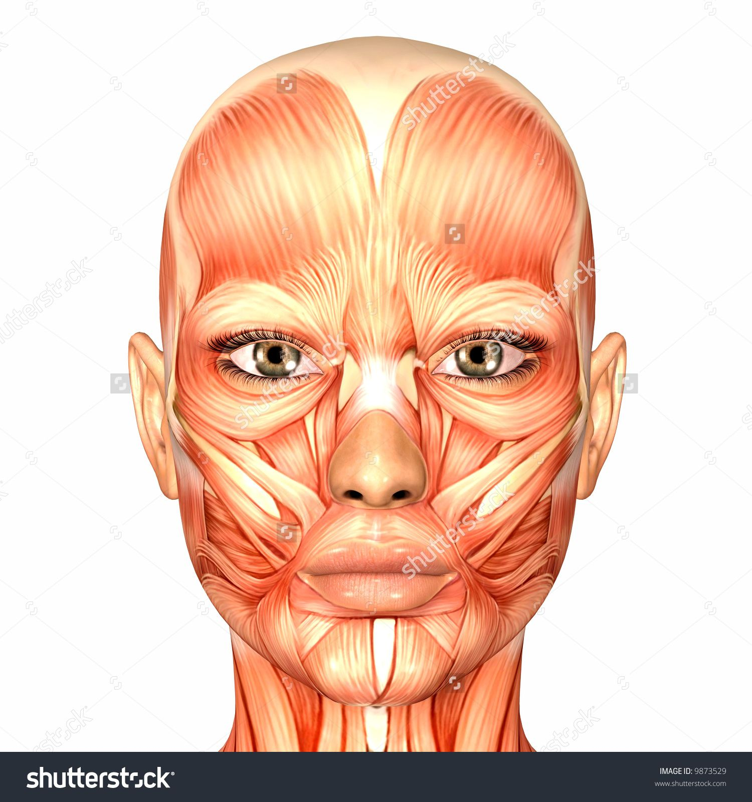 Imageutterstock Z Stock Photo Human Anatomy