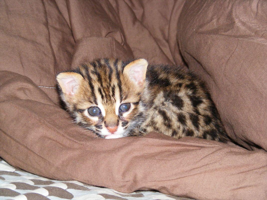 Lynx Hybrid Cats for Sale cats, bobcat, bobcat