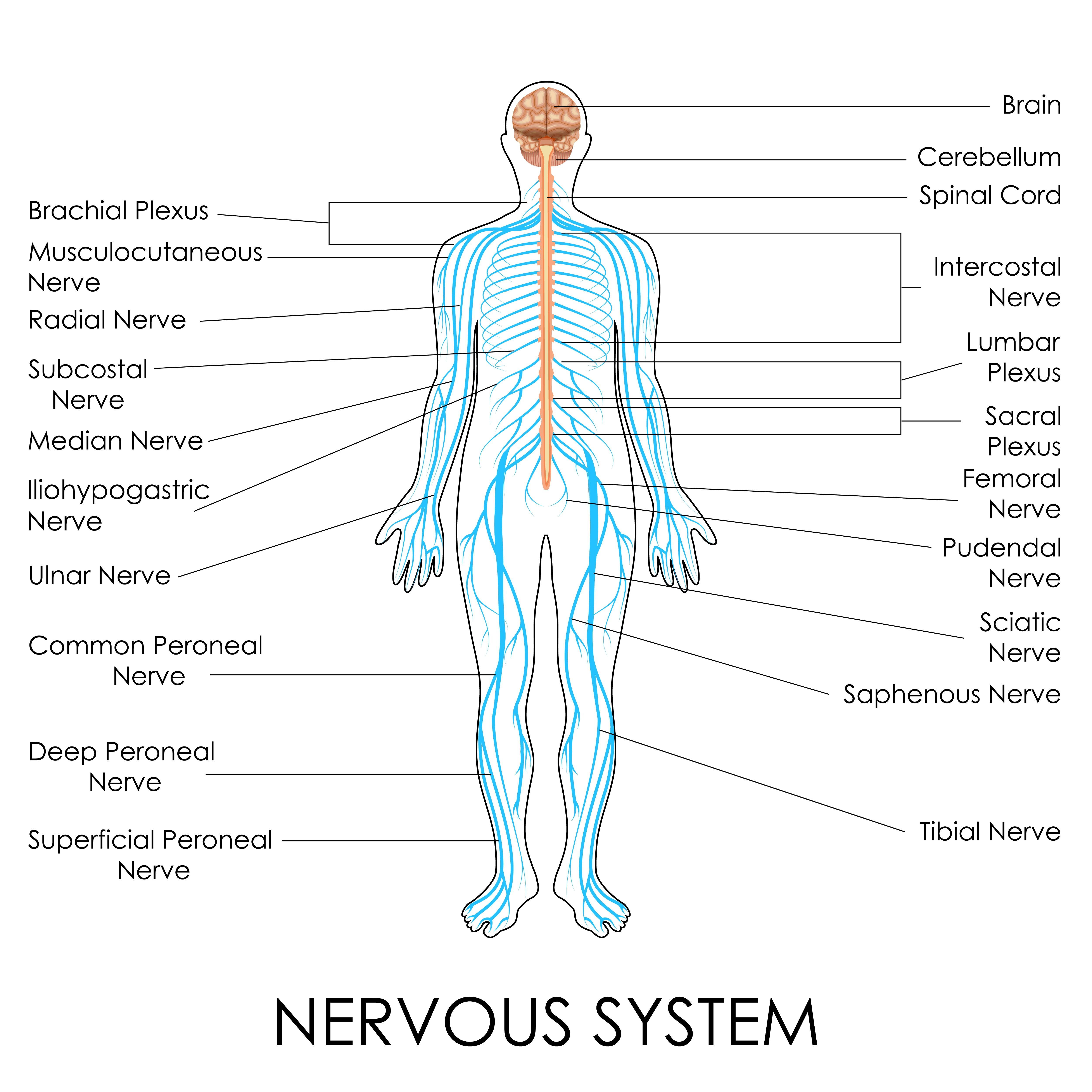 Nerves Of The Body