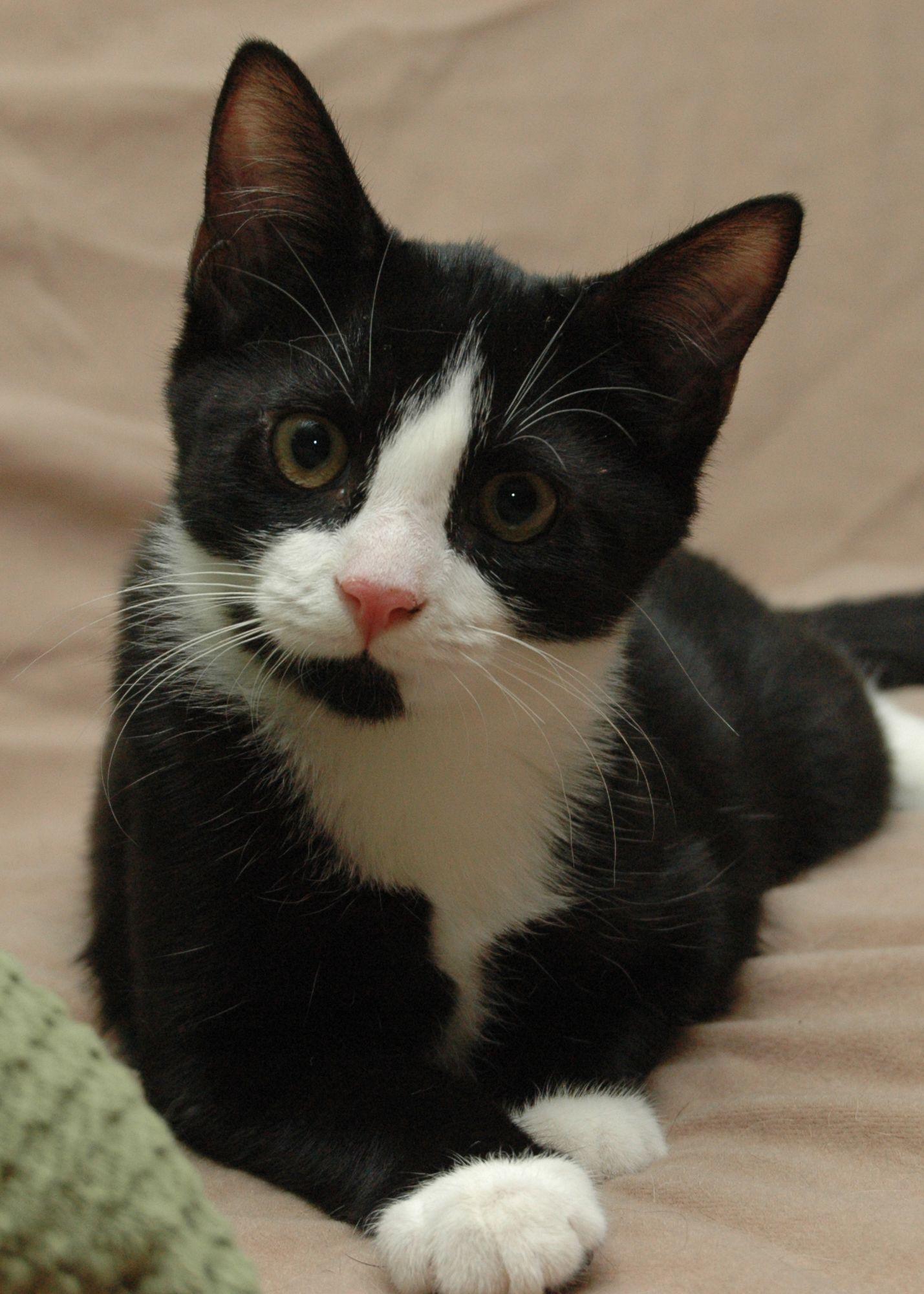 Different Type of Cats Tuxedo accessories, Tuxedo cats