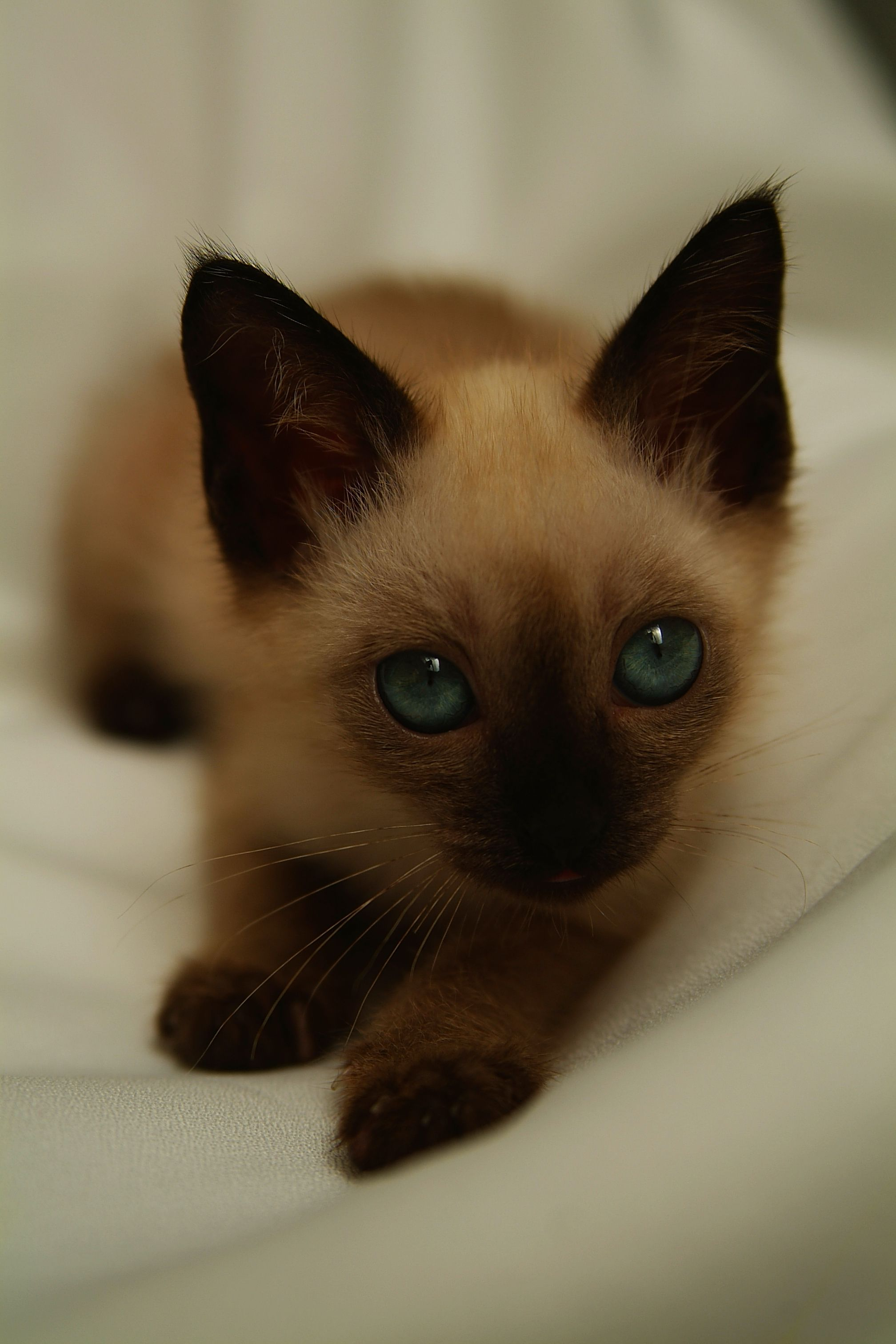 Lilac Point Siamese Personality BEHAVIORS OF FEMALE