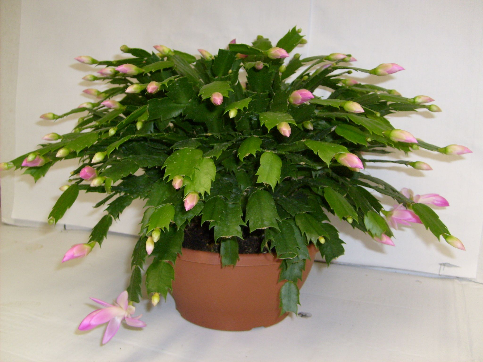 Take stem cuttings from your Christmas Cactus Plant now