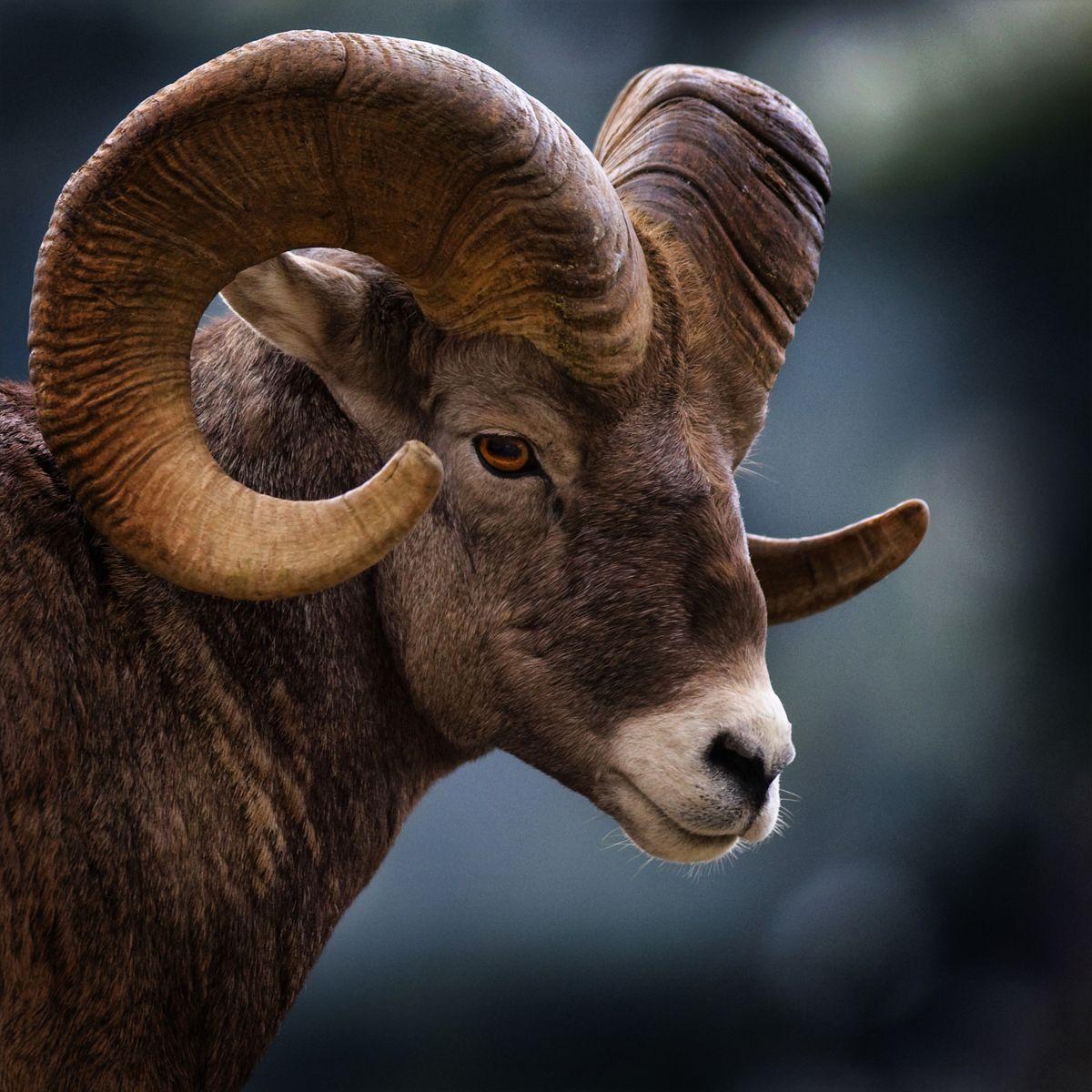 Colorado State Animal Rocky Mountain Bighorn Sheep