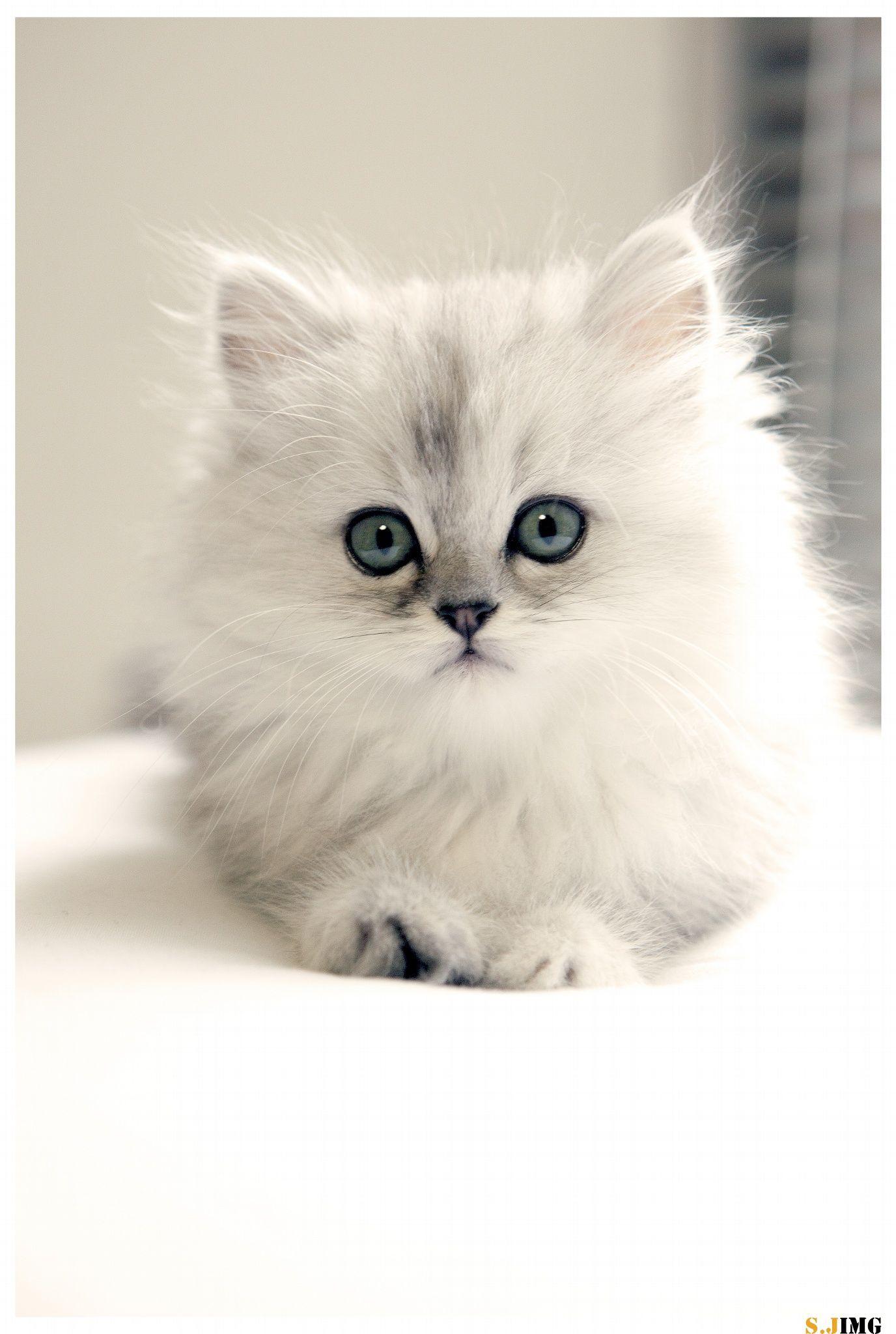 Persian Cat by Jing Shen on 500px Kittens Pinterest