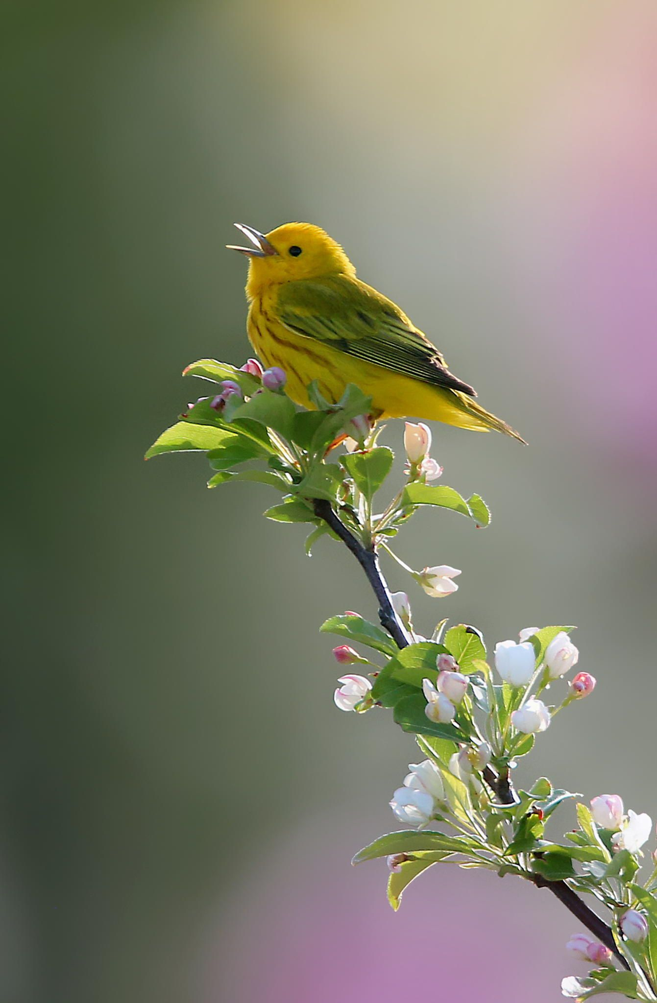 Yellow Wabler on flowered limb singing with a happy heart