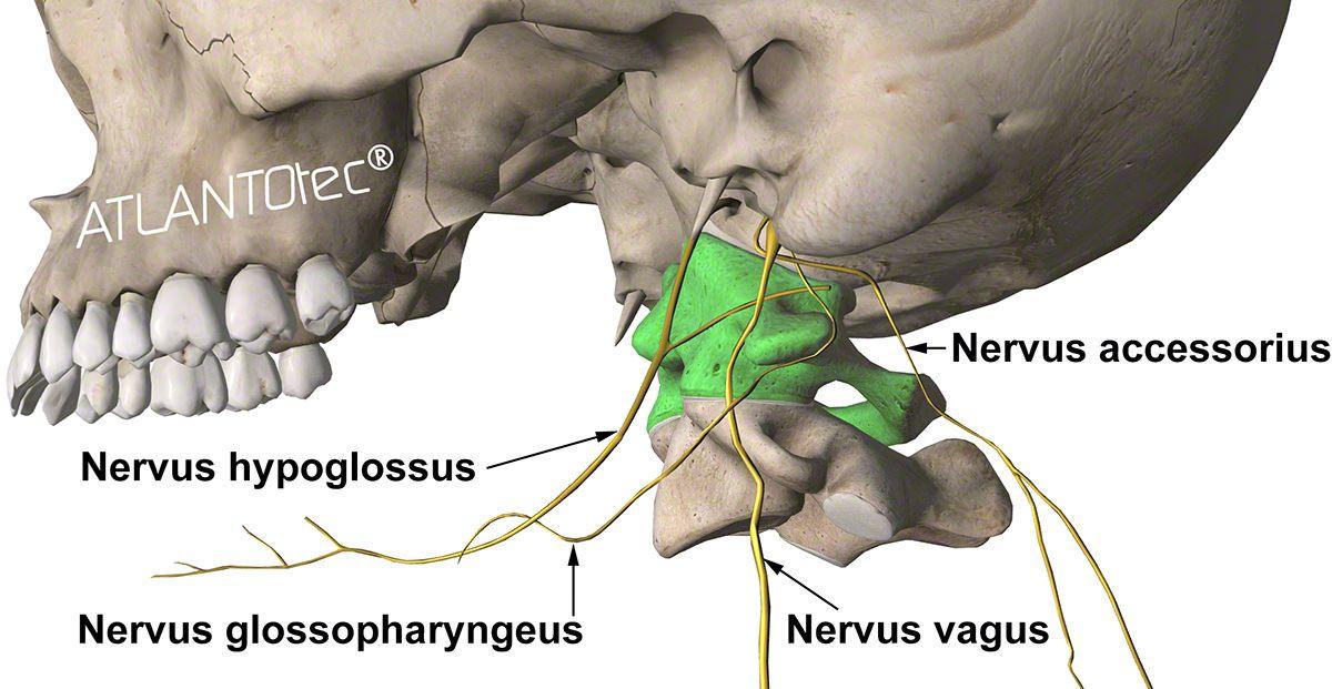 nervo accessorio, nervo glossofaringeo, nervo vago, nervo