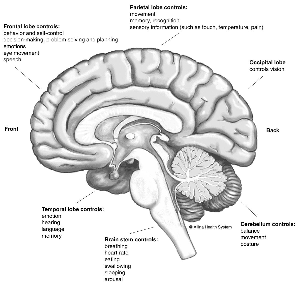 The Brain Is Like The Nucleus In A Cell Because It