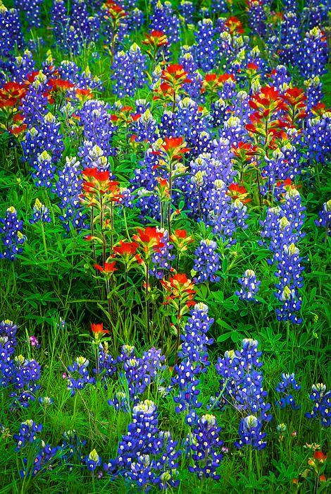 Patch Wildflowers near Llano, Texas Blues