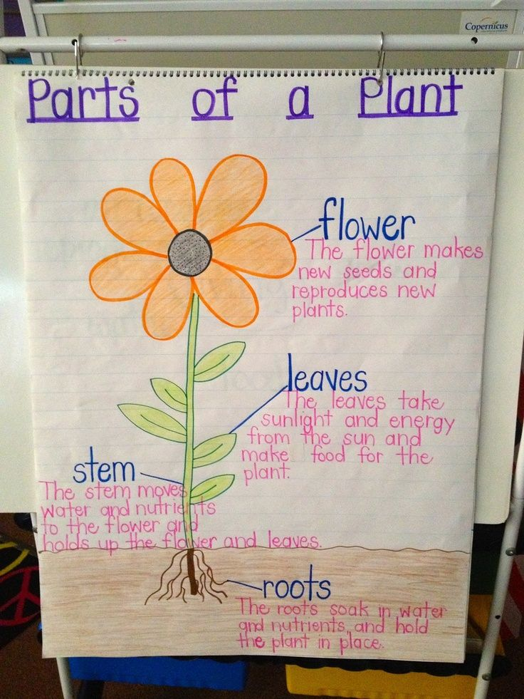 This is an another anchor chart about parts of a plant. It