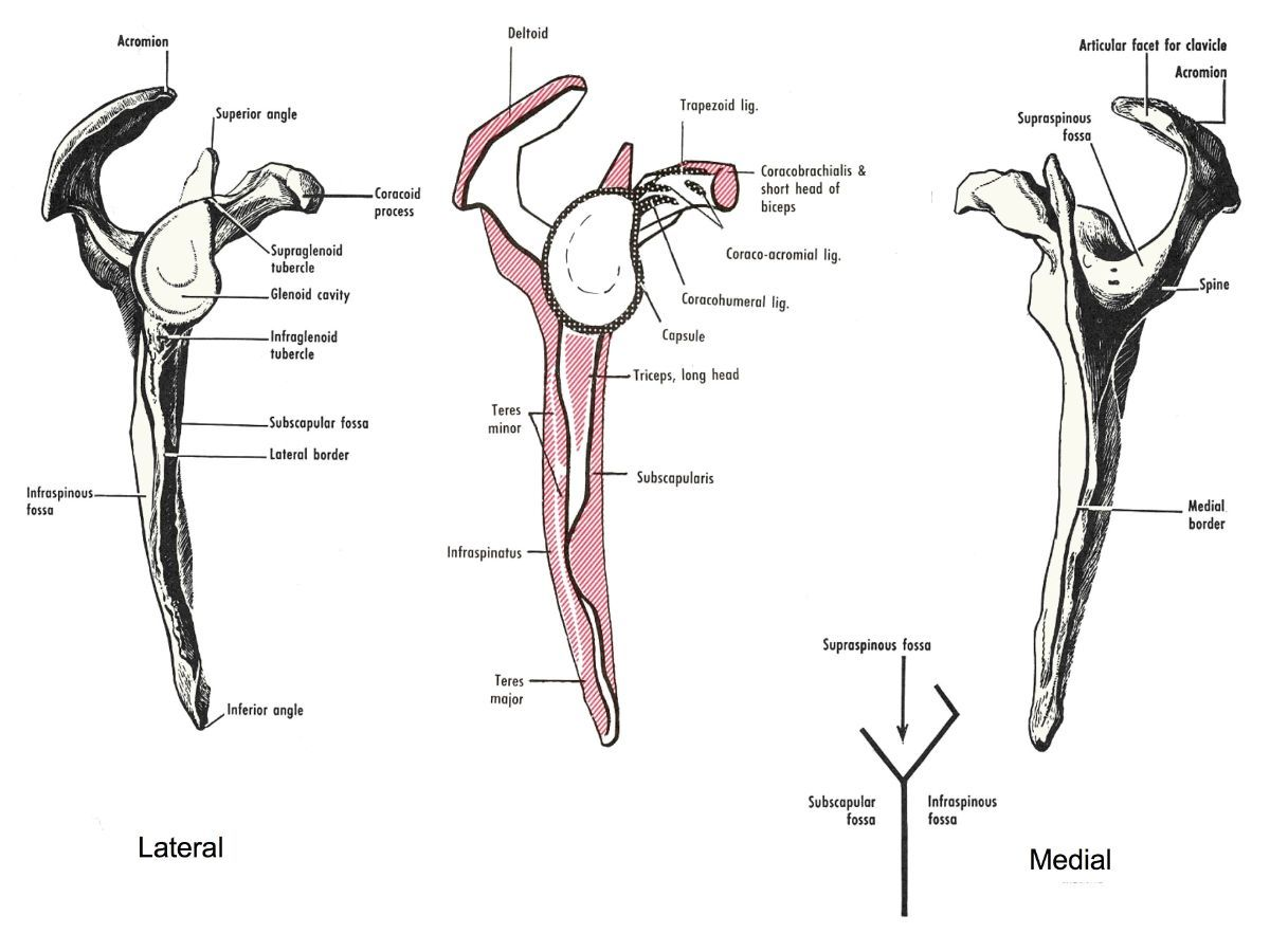 Lateral Amp Medial Aspects Of Right Scapula The Right