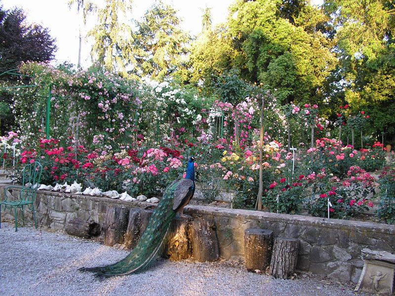 The Cavriglia rose garden in Italy is the largest