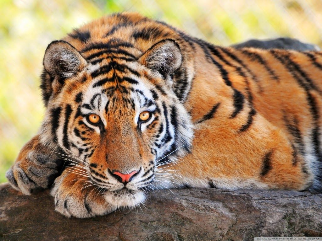 white tiger wallpaper android apps on google play 1440×900 white