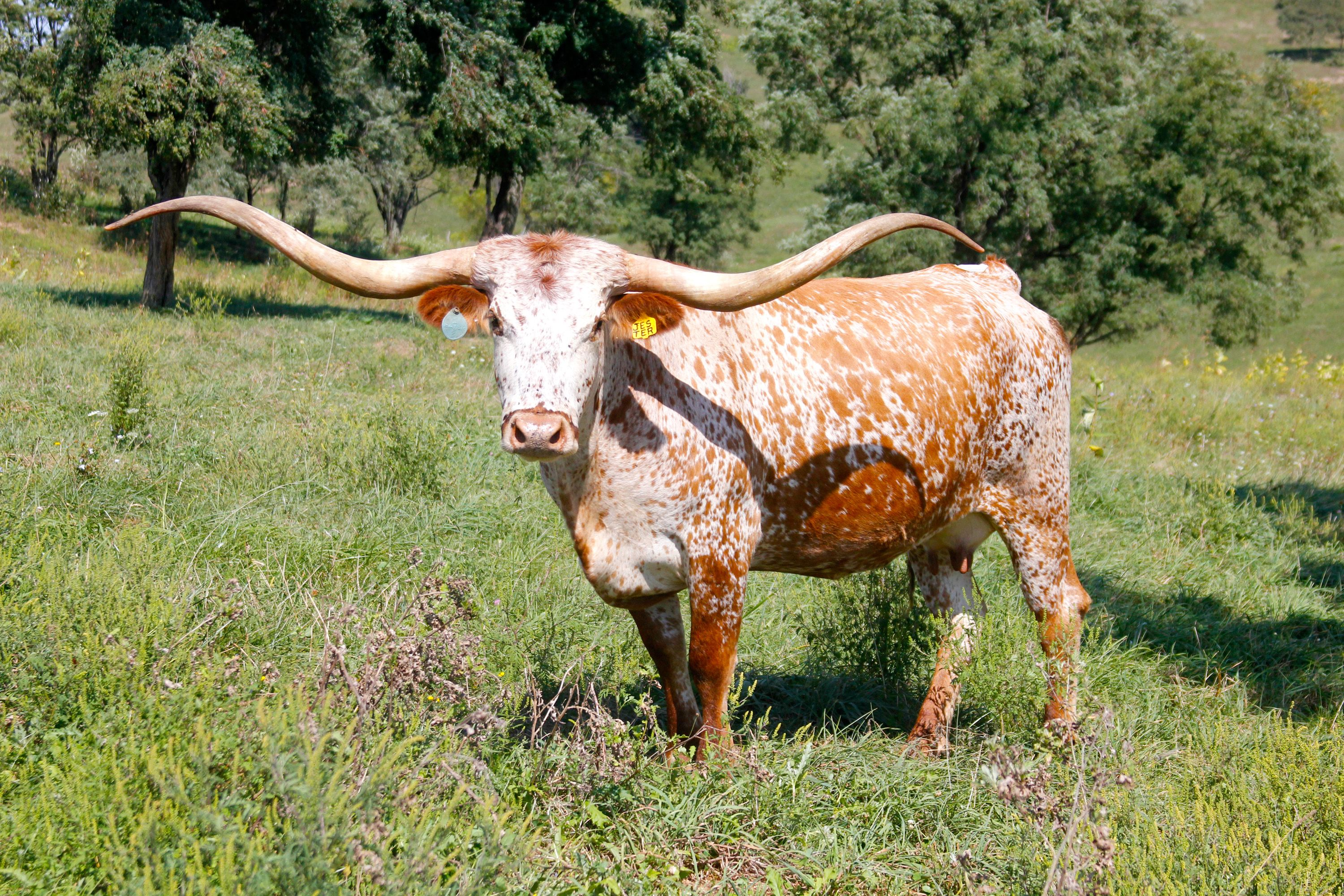 pictures of long horn cattle Click here for High Res of