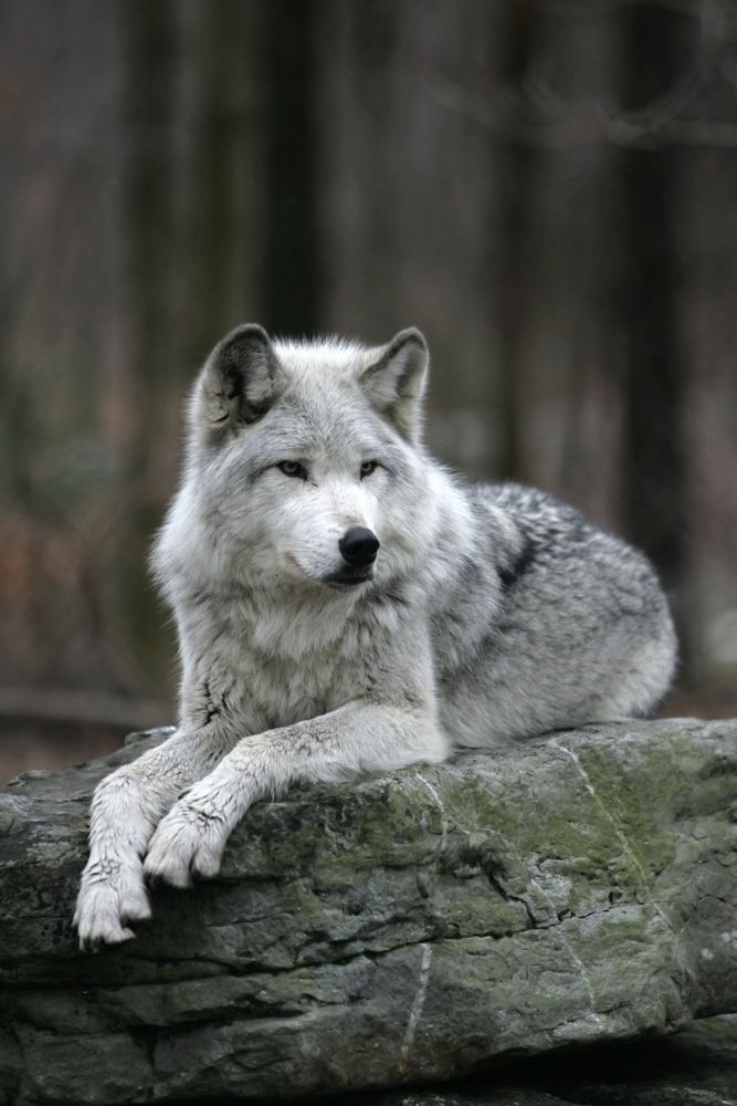Search Of The Oregons Wild Wolf Timber Wolf Information