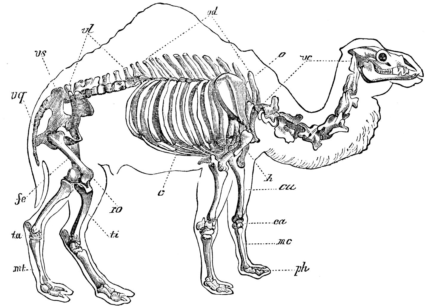Camel Skeleton