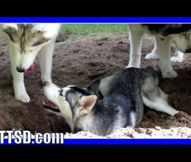 Bury The Husky Puppy Dog Digs To China Youtube