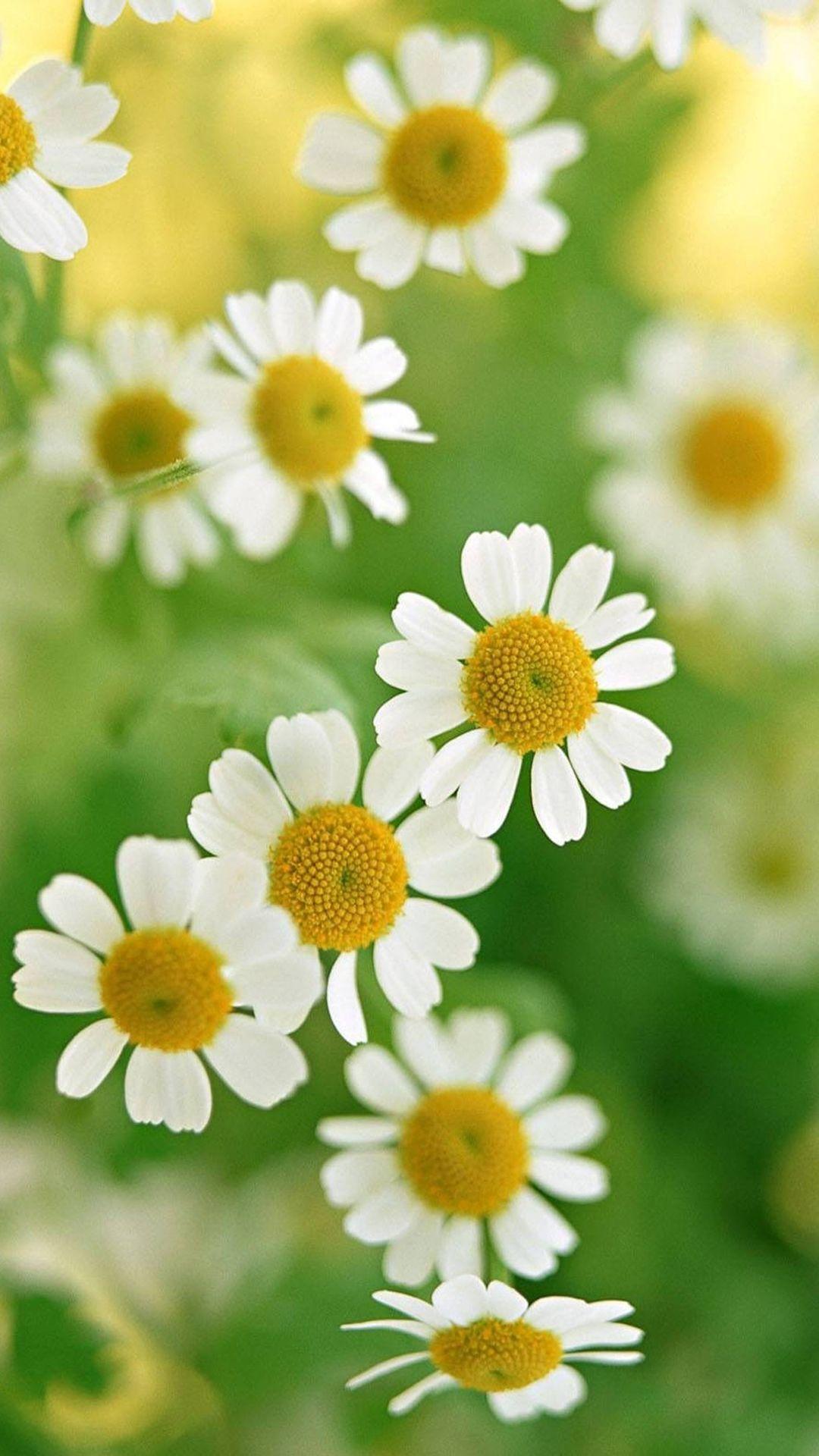 Nature White Daisy Flower iPhone 7 wallpaper iPhone 7