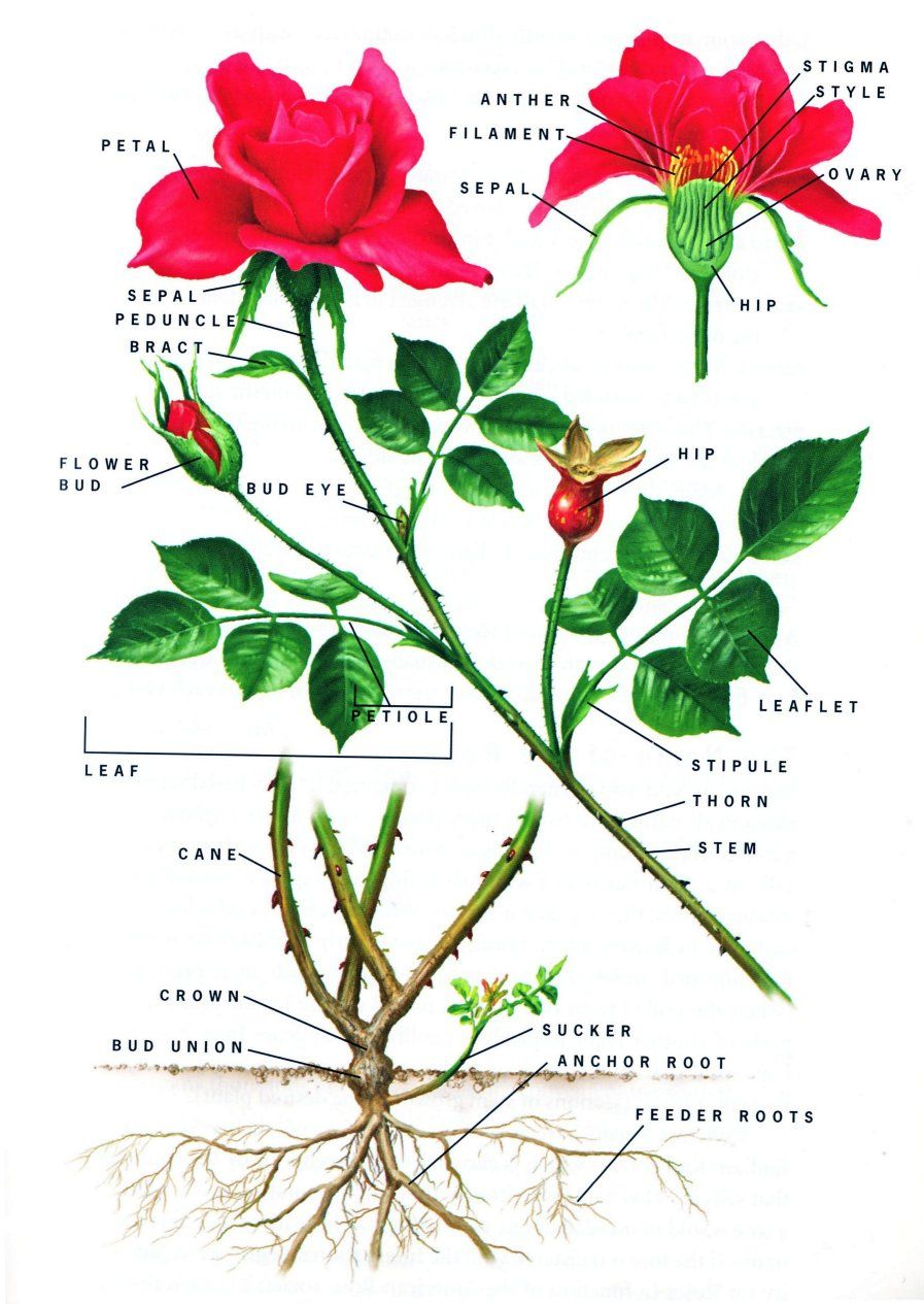 Anatomy of a Rose {Botanicals, Birds, Butterflies