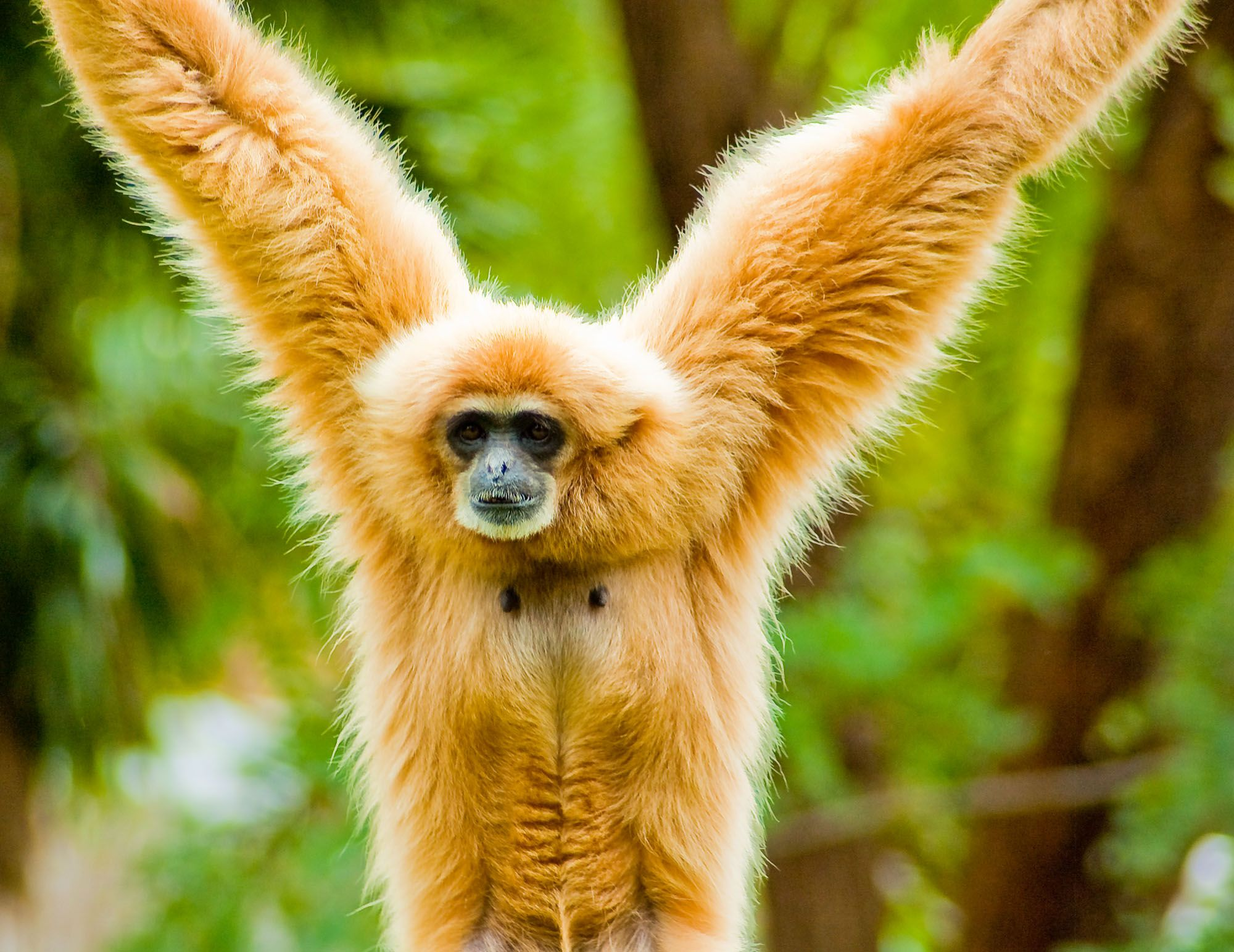 Gibbons are apes in the family Hylobatidae. Gibbons occur