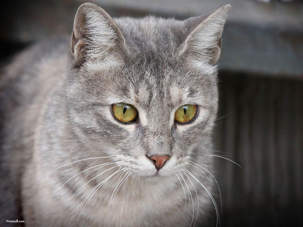 grey cats with green eyes pictures Gray Cat with Green