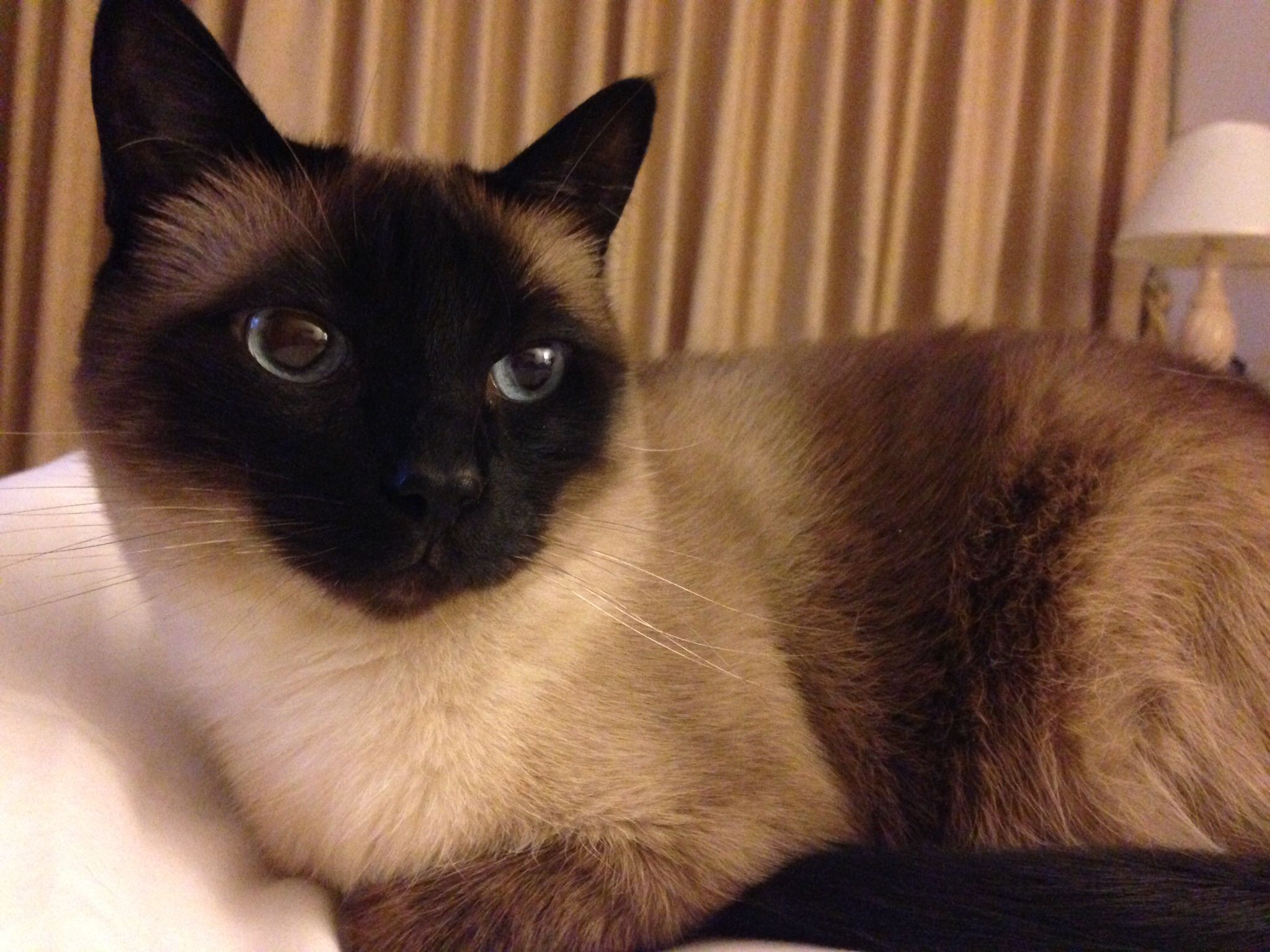 Female Oldstyle Siamese Car Cats Pinterest Siamese