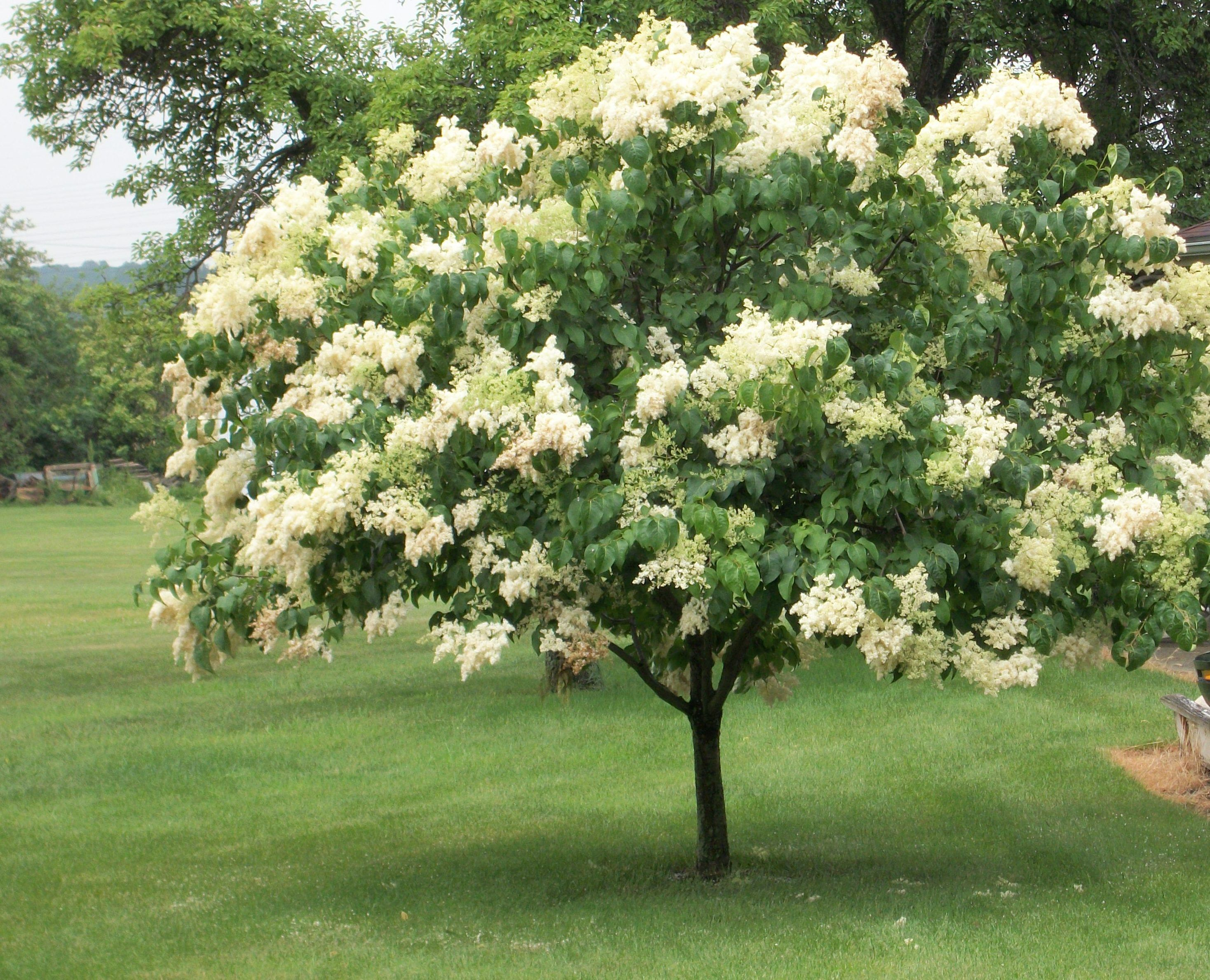 Syringa reticulata.jpg Summer Bloomers Pinterest