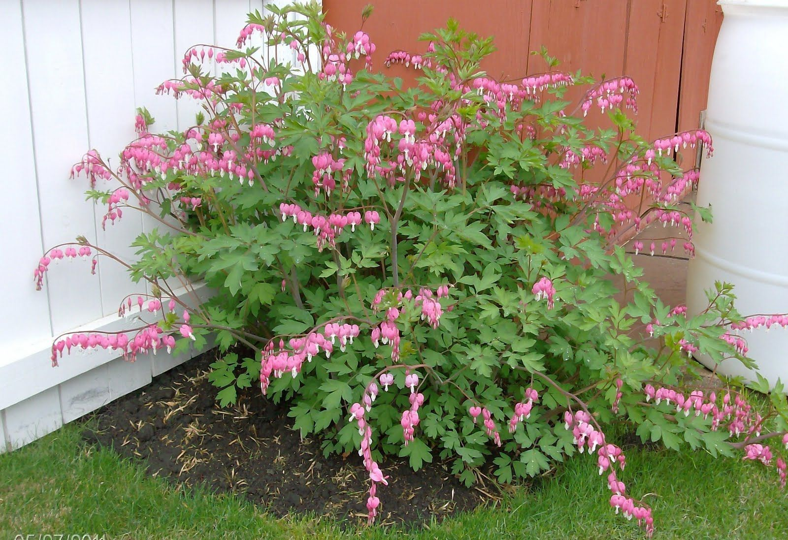 Backyard Garden With Bleeding Heart Plants Bleeding