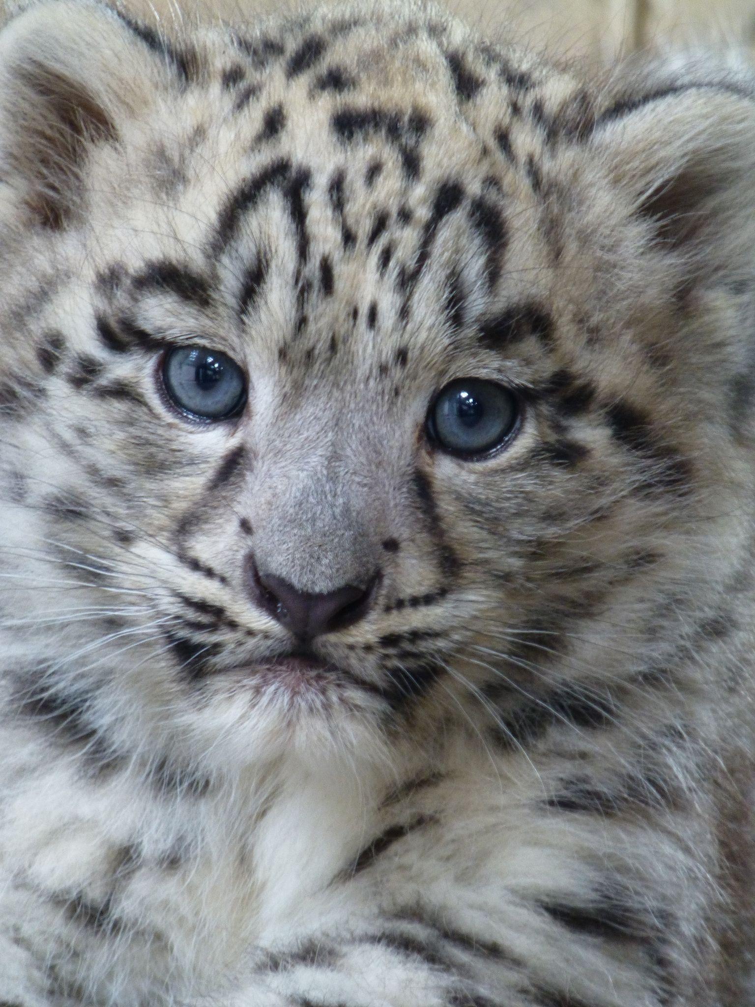 Male snow leopard cub Leopard cub, Snow leopard and Leopards