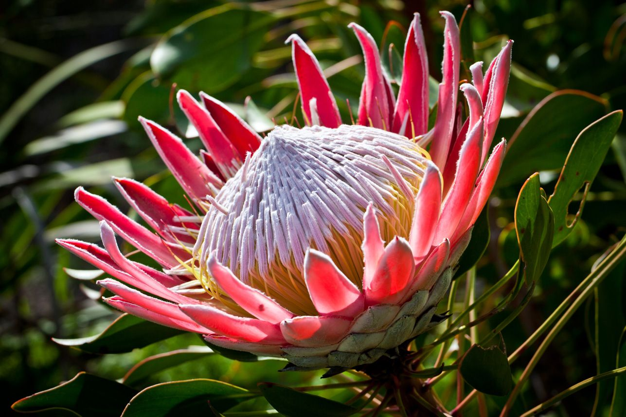 indigenous plants south africa Google Search