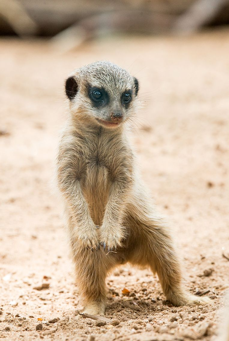 This playful pup now has a name! Our two Meerkats pups