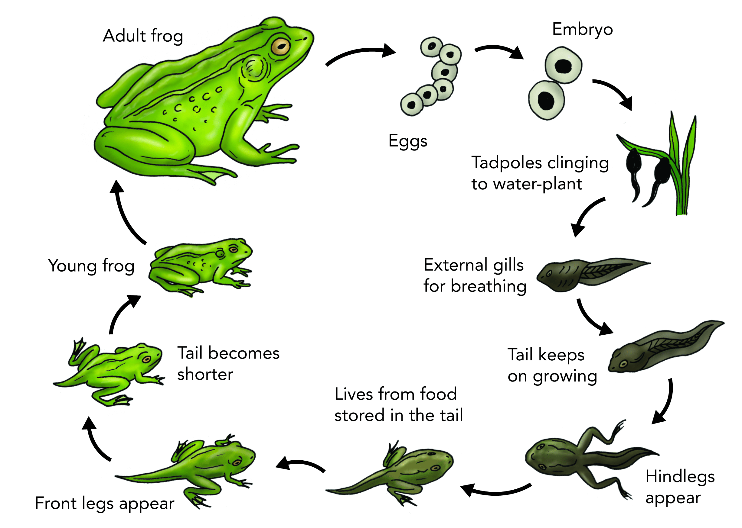Image Result For Frog Cycle