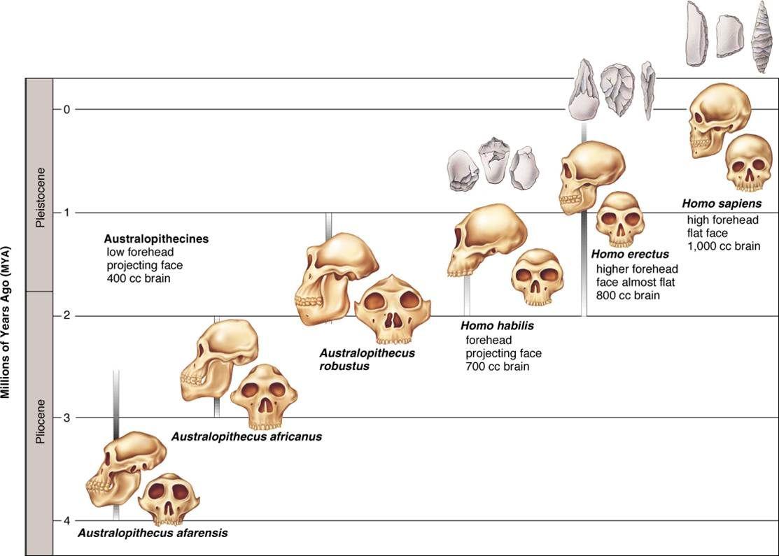 Arbol Genealogico Hominidos