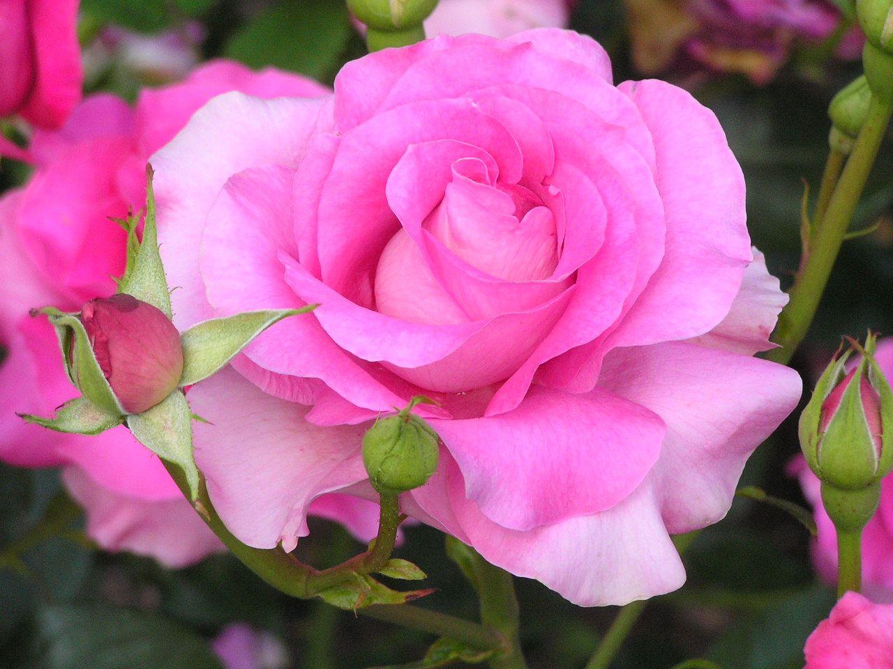 All Free Flower Wallpapers Hybrid Tea Rose Flower Free