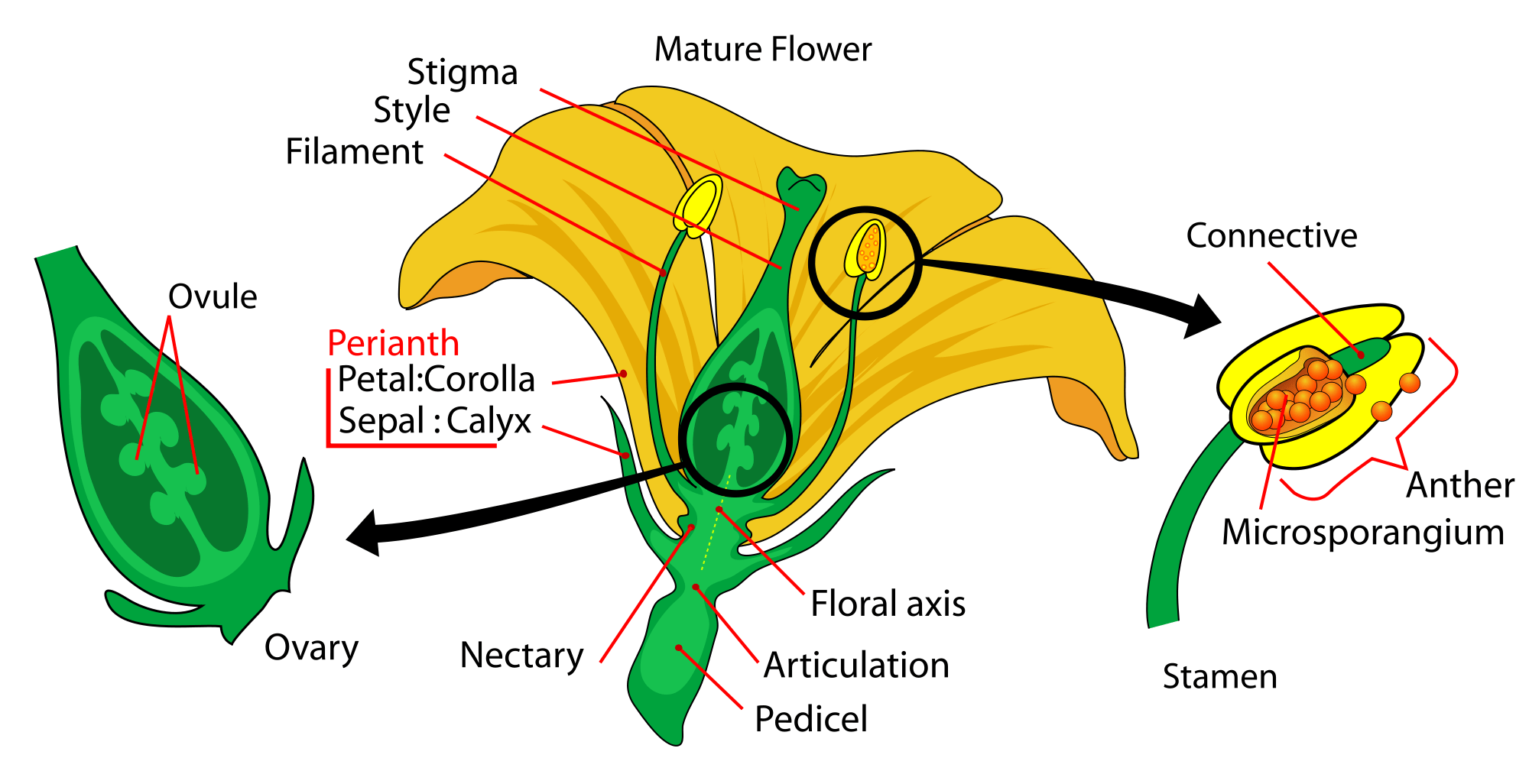 plant morphology diagram Google Search Plant