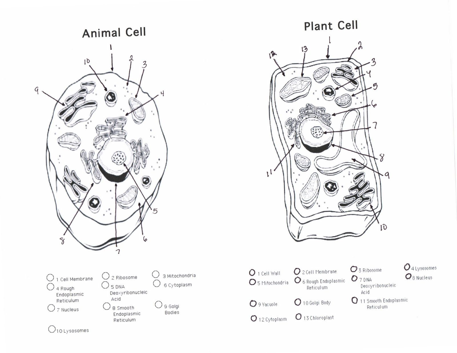 Human Cell Coloring Pages