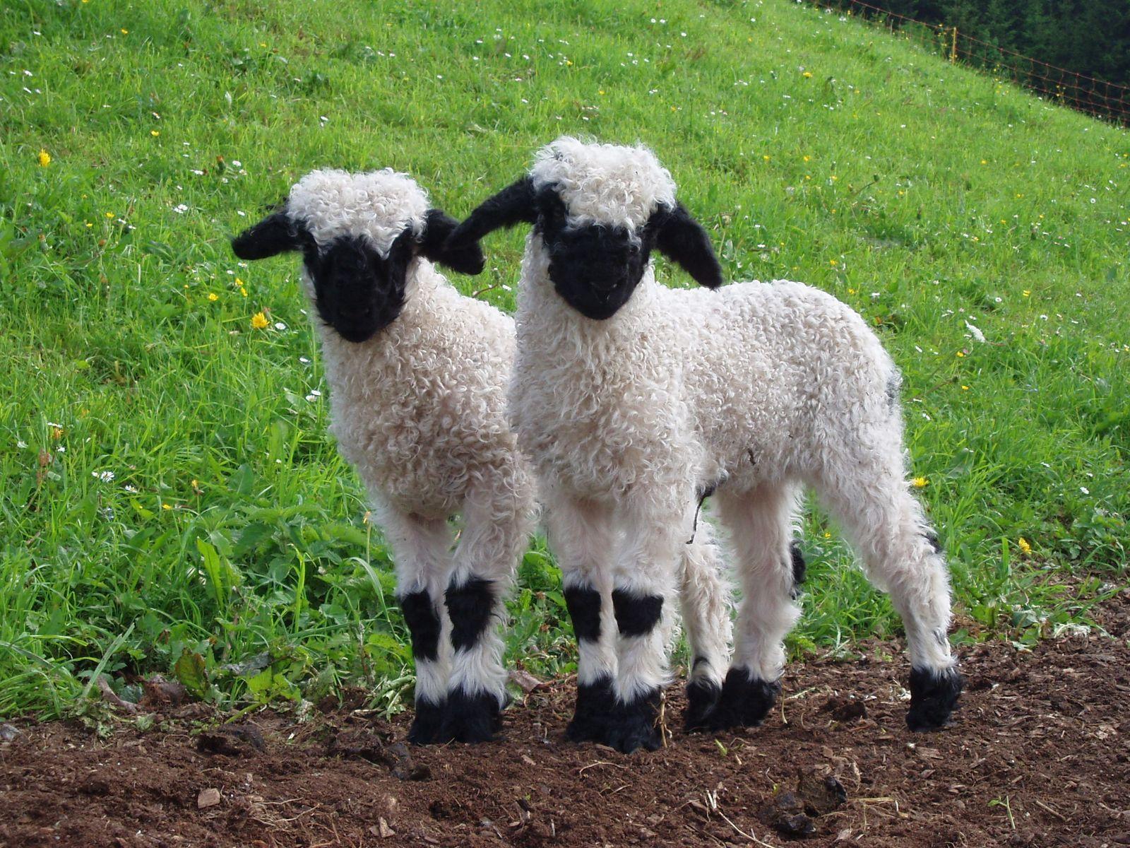 Scottish Blackface Barnyard Sheep Pinterest Animal